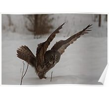 Great Grey Owl with wings - Ottawa, Canada Poster