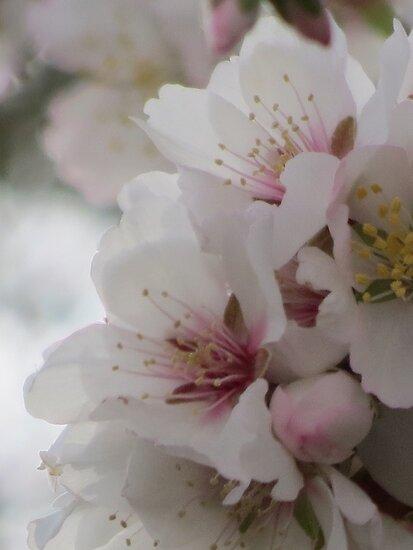 Almond Blossom by HolidayMurcia