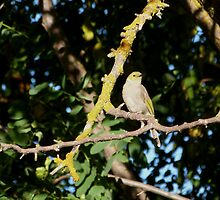 Well camaglauged White-plumed Honeyeater in Garden. S.A. by Rita Blom