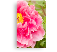 tree peony in pink Canvas Print