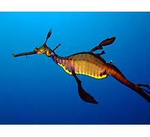 Weedy Seadragon (Phyllopteryx taeniolatus) Photographic Print