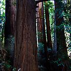 Deep in the Muir Woods by Yukondick