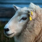 Untitled- Sheep Portrait by claire-virgona