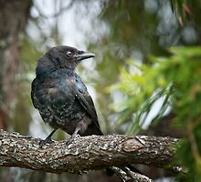 Forked Tail  Drongo by Warren. A. Williams