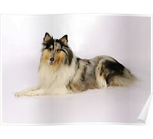 Toy Collie Poster