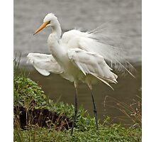 Flexing His Breeding Plumage Photographic Print