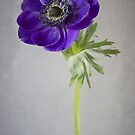 Poppy Anemone by Jacky Parker