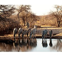 Botswana Zebras drinking water  Photographic Print