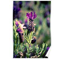 Twilight Lavender in Bloom Poster