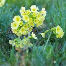 Cowslips in the Morning Dew VRS2 by vivendulies
