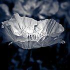 Poppy IV by IamPhoto