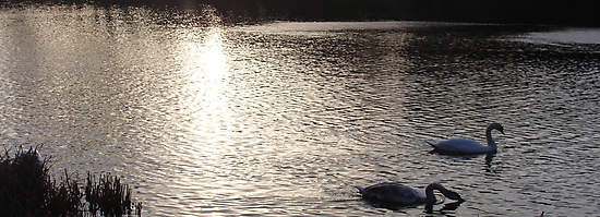 Sunset Swans by Paul Hutcheon