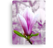 Magnolia blooming in Spring (light) VRS2 Canvas Print