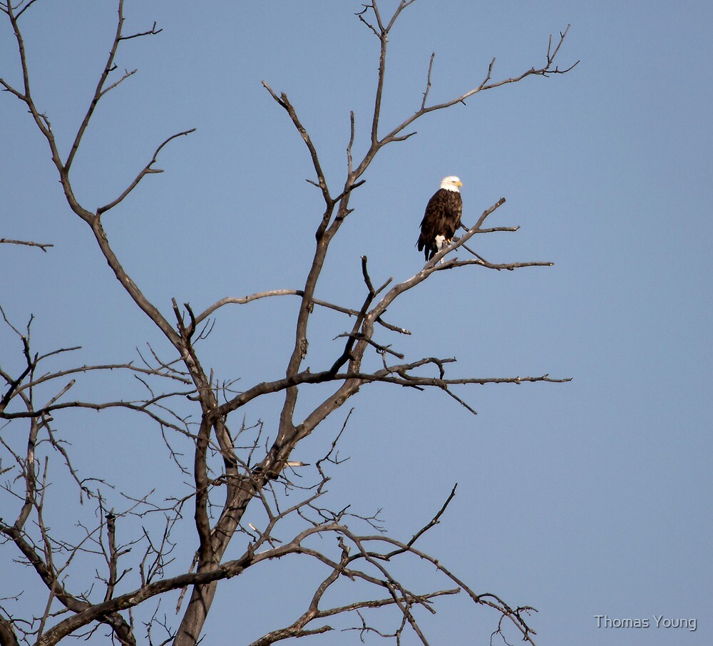 East Side Eagle 2 by Thomas Young