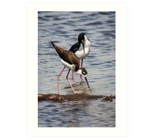 A Beautiful Pair of Black-Necked Stilts Art Print