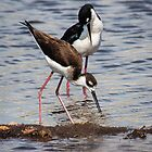 A Beautiful Pair of Black-Necked Stilts by Robert Kelch, M.D.
