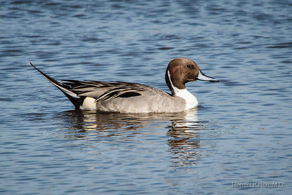 A Proud Pintail on South  Padre Island by Robert Kelch, M.D.