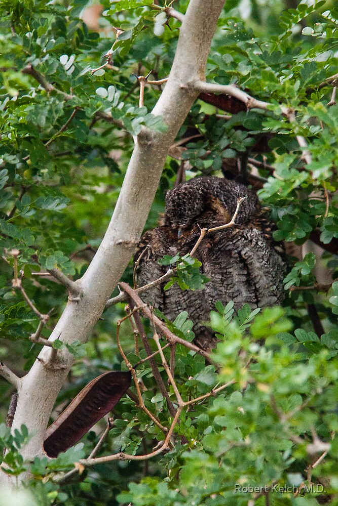 Flammulated Owl Hiding in a Tree by Robert Kelch, M.D.