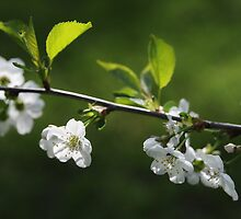 Cherry Blossoms in May by Ari Salmela