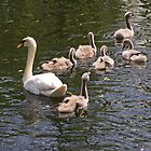 Swan Family by GreyFeatherPhot
