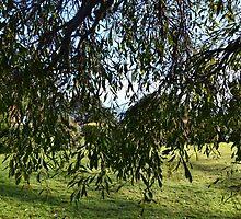Mimosa Tree by lynn carter