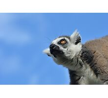 Lemur looking up at sky Photographic Print