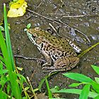 American Bullfrog - Rana catesbeiana by MotherNature