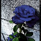 Late Summer Rose - Blue Velvet by Shawna Rowe
