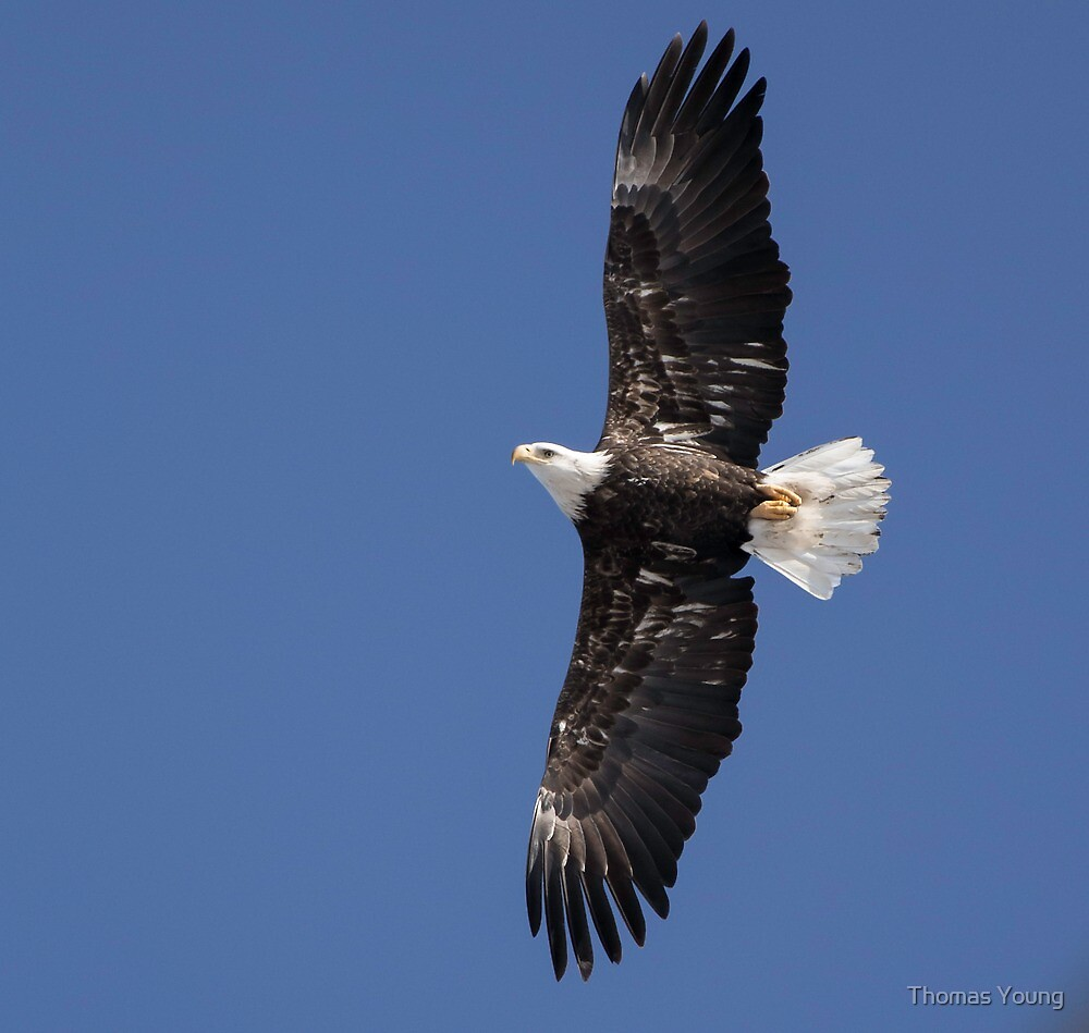Flying Free 2 by Thomas Young