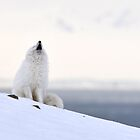 Polar Fox in Bjørndalen by Algot Kristoffer Peterson