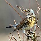 Fieldfare by M.S. Photography/Art