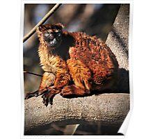 Sclater's Blue-Eyed (Black) Lemur Poster