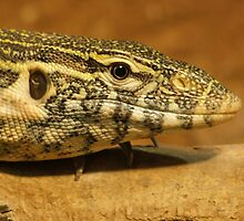 Monitor Lizard  by GreyFeatherPhot