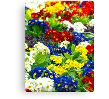 Colorful Primroses VRS2 Canvas Print