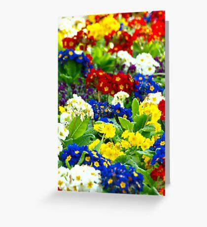 Colorful Primroses VRS2 Greeting Card