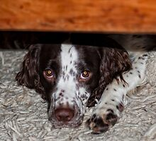 FiFi our springer who is camera shy by Paul Morris
