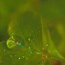 Raindrops on Oxalis Leaf by aprilann