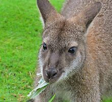 Wallaby by GreyFeatherPhot