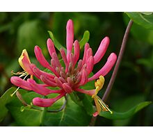 Trumpet Honeysuckle Photographic Print