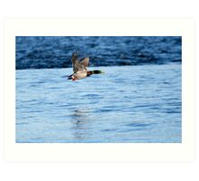 Drake Mallard Taking Flight Art Print