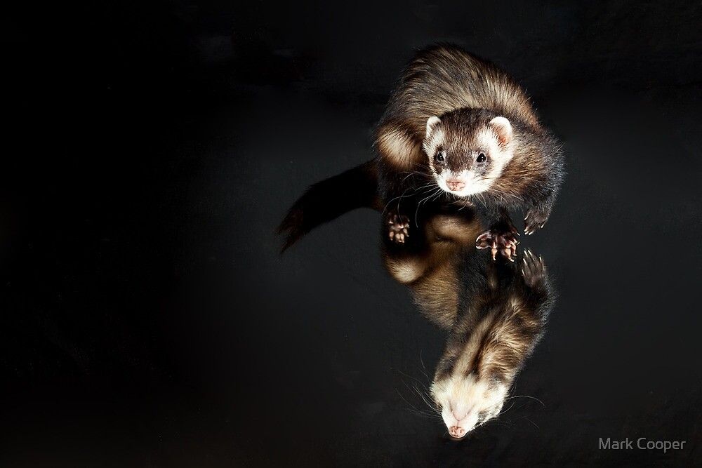 Reflective Ferret by Mark Cooper