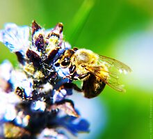 Bee on Common Bugle by vivendulies