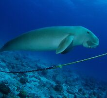 Dugong, Cocos Island, Indian Ocean, Australia by Sean Elliott