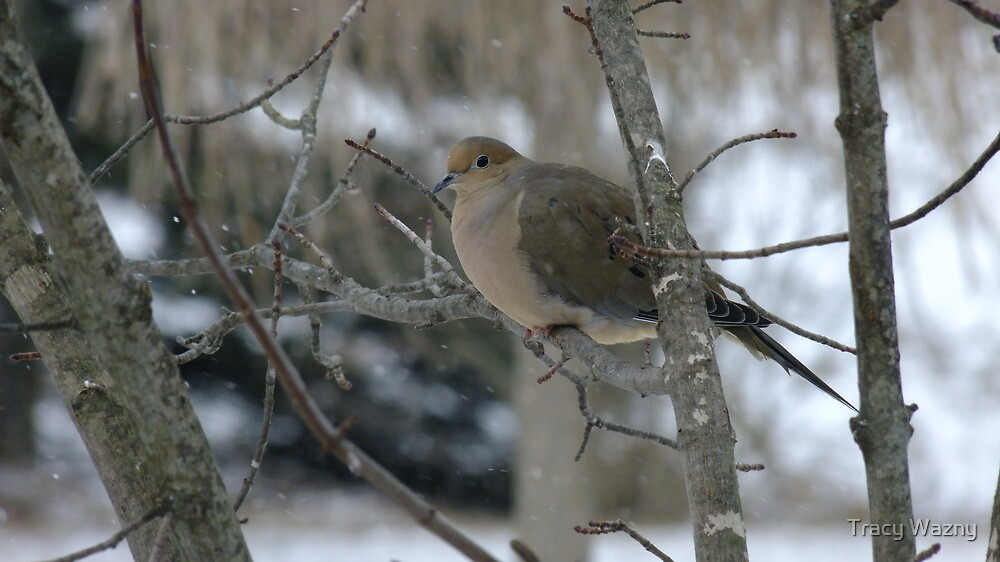 Mourning Dove by Tracy Wazny