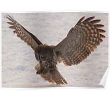 Great Grey Owl in Flight (Day 2) - Ottawa, Ontario Poster