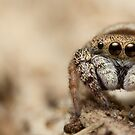 (Simaethula ZZ483) Jumping Spider #5 by Kerrod Sulter