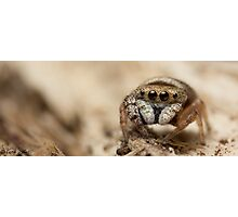 (Simaethula ZZ483) Jumping Spider #5 Photographic Print
