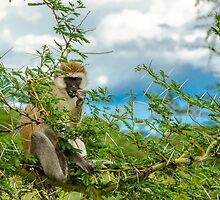 Vervet Monkey by JKutchera