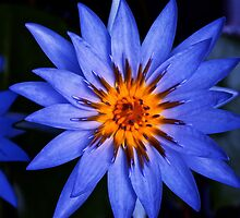 deep blue waterlily by Marshall Thurlow