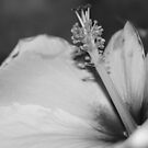 Hibiscus In Black And White by Betty Northcutt